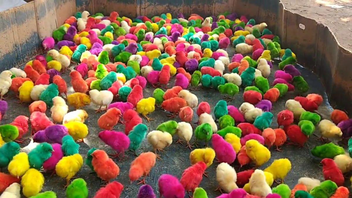OHOH! Kanamunatootja Tallegg väidab, et nende aretatud värvilised kanad annavad värvilisi mune