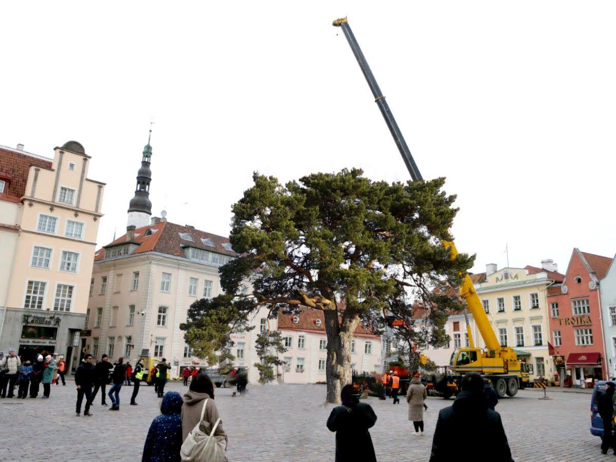 OHOH! Sel aastal valiti Tallinna jõulupuuks mänd, kes ise peab end kuuseks